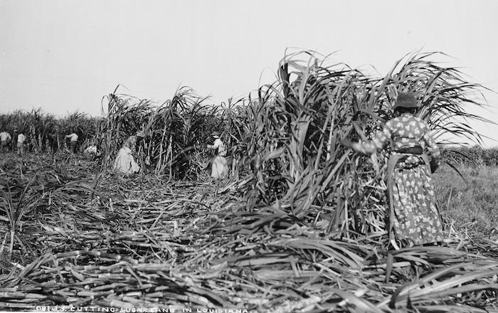 Cutting Sugar Cane